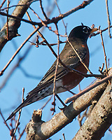 American Robin (Turdus migratorius). Image taken with a Nikon N1V3 camera and 70-300 mm VR lens.