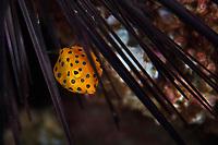 Yellow boxfish, Ostracion cubicus, Sai Kung East Country Oark, Hong Kong, China.<br /> This Image is a part of the mission Wild Sea Hong Kong (Wild Wonders of China).