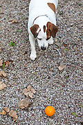 Jack Russell terrier dog guarding toy ball at Houesville, Normandy, France