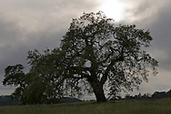 Oak Tree and storm clouds, Henry Coe State Park, California