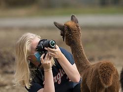 United States, Washington, Carnation, Cascade Rose Alpacas  MR