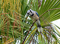 Blue Jay (Cyanocitta cristata),  Green Cay Nature Area, Delray Beach, Florida,    Photo: Peter Llewellyn