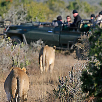 Africa, South Africa, Kwandwe. Two female lions approach safari vehicle at Kwandwe.