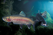 Rainbow Trout (Oncorhynchus mykiss) in Western Oregon,