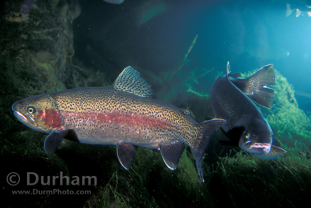 Rainbow Trout (Oncorhynchus mykiss) in Western Oregon,