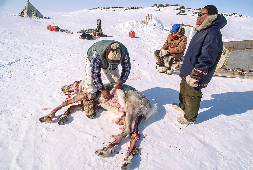 Inuit elder skins freshly killed caribou. It was hunted by dogsled using the sled (kamatik or  qamutiik) pictured in the background.