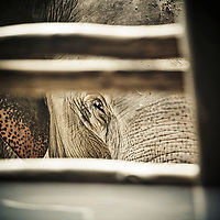 Elephant peers from behind fence at the Elephant Nature Park in Chiang Mai, Thailand.  This park rehabilitates elephants that have been used and abused by Thais at tourist locations in Bangkok.  Some are blind, and some are even addicted to Methamphetamines.