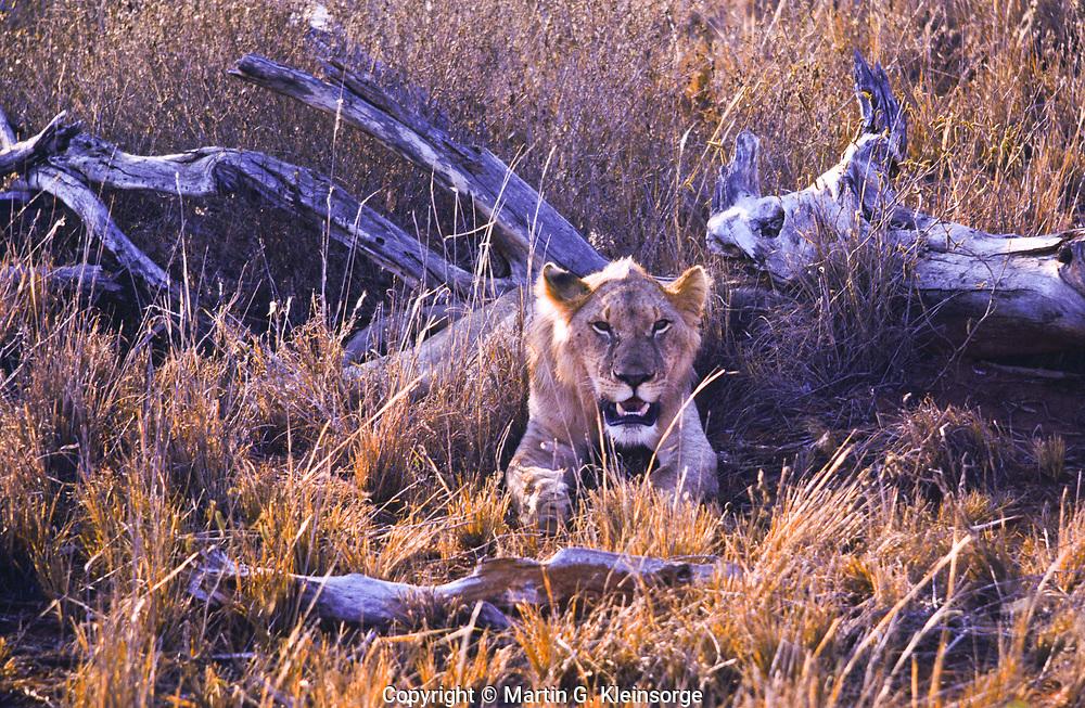 Female African lion (Panthera Leo) at Tsavo National Park. Kenya.