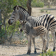 Burchell's Zebra (Equus quagga) mother with her baby. Mala Mala Game Reserve, South Africa