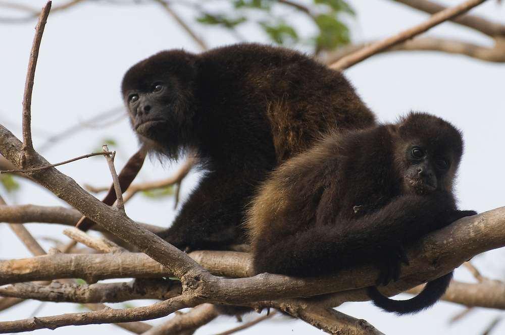 Mantled Howler Monkey (Alouatta palliate),  Isla de Ometepe, Nicaragua. May 2009.  (Photo/William Byrne Drumm)