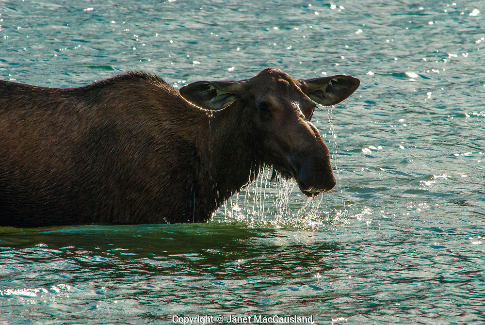 Water sparkles like diamond ear rings as it drips from the moose's ears in the Canadian Rockies. This backlit moose cow has left the woods to forage on nutritious water plants near Jasper, Canada. The moose is the biggest of all the deer species. Moose are able to feed underwater because their nostrils can close.