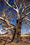 A Blue Heeler sits by a sycamore tree along Gardner Canyon Road, Sonoita, Arizona, USA.