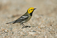 Hermit Warbler - Dendroica occidentalis - male