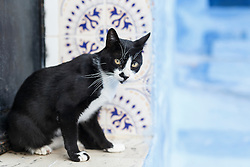Cat in doorway with blue wall, Chefchaouen, Morocco