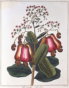 Cashew nut - Anacardium occidentale, c1798. Branch of a tree showing flowers, apples and nuts. The apples can be used for preserves, and the kernels eaten. Oil from between the outer and inner shells is used as a lubricant, an insecticide, and in the manufacture of plastics. From 'A Key to Physic' by Ebenezer Sibly. (London, c1798).