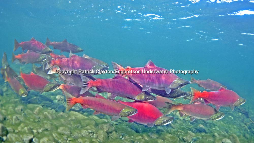 Sockeye Salmon School<br /> <br /> Patrick Clayton/Engbretson Underwater Photography