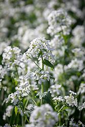 Lunaria annua var. albiflora AGM syn. Lunaria annua var. alba - white honesty