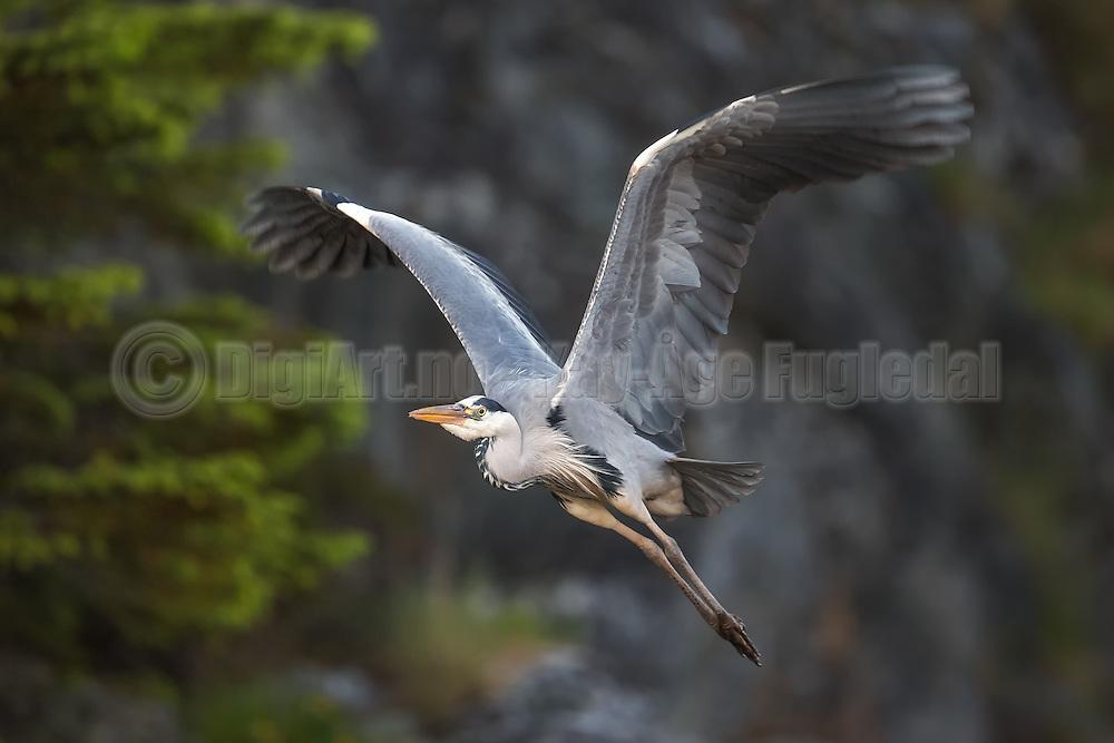 Gray Heron in flight on a gray and green background   Gråhegre i flukt på en grønn og grå bakgrunn