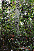 The Ayahuma (Canon ball) tree in the Pacaya Samaria national reserve.<br /> The Cannon ball tree is known as Ayahuma (head of spirit) in the Amazon. Among the shamans of the Amazon, the tree is believed to provide protection against the evil spirits. The English name is derived from the massive fruit nuts which resemble rusty cannon balls. Thanks to its beauty, the tree has spread widely all over the world. It is considered as the holy tree of Shiva and called Naga Linga in India.<br /> The effects of the Cannon ball tree in medical use are strong. As when using any natural medicine, the correct dosage is vital. In medicinal use, the flowers, leaves, bark and fruit flesh are used. The Cannon ball tree possesses antibiotic, antifungal, antiseptic and analgesic qualities. The trees are used to cure colds and stomach aches. The juice made from the leaves is used to cure skin diseases, and the Shamans of South America have even used tree parts for treating malaria. The inside of the fruit can disinfect wounds and young leaves ease toothache.