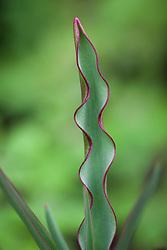 Young foliage of Tulipa linifolia