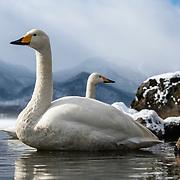 A pair of whooper swans (Cygnus cygnus) visiting wintering grounds in Hokkaido, Japan