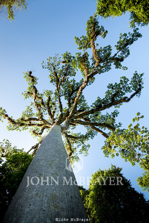 A Ceiba tree towers overhead in the jungle near Tikal.  The Ceiba trees were considered sacred by the Mayans, connecting the heavens, Earth, and the underworld. © John McBrayer