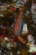 Potter's angelfish, Centropyge potteri ( endemic to Hawaii), Makako Bay, Keahole, Kona, Hawaii Island ( the Big Island ), Hawaiian Islands ( Central Pacific Ocean )