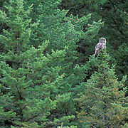 Great Gray Owl, (Strix nebulosa)  Adult and chicks in nest on top of broken tree trunk. Montana.
