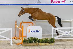 031, N Eighteen<br /> KWPN Hengstenkeuring 2021<br /> © Hippo Foto - Dirk Caremans<br />  03/02/2021