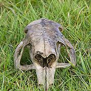 South America, Uruguay, Rocha, Parque Nacional Santa Teresa, Estacion Biologica Potrerillo de Santa Teresa, capybara, Hydrocoerus hydrochaeris, carpincho, skull
