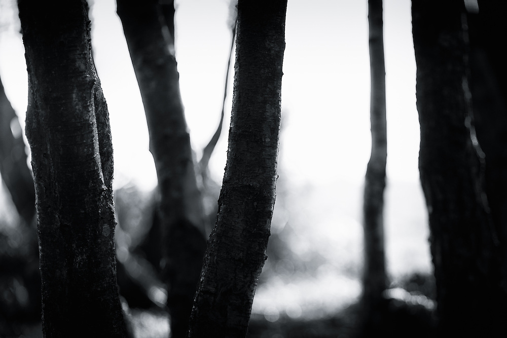 Tree trunks in a clump in Ashdown Forest, Sussex, UK