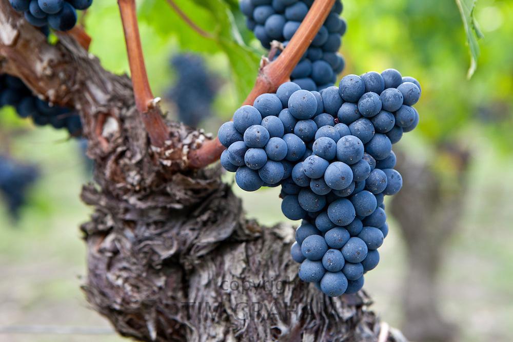 Ripe Cabernet Franc grapes on ancient vine in St Emilion in the Bordeaux region of France
