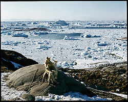 Ice floes and ice bergs make their way out to sea from  after breaking off of the Jakobshavn Isbræ glacier. The glacier, near Ilulissat, Greenland is the most productive glacier in the northern hemisphere. The Ilulissat Icefjord was declared a UNESCO World Heritage Site in 2004.