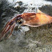This is a firefly squid (Watasenia scintillans). This deepwater species ascends to relatively shallow water for reproduction purposes. Sometimes, as is pictured here, individuals appear to become disoriented, repeatedly hitting the substrate for no apparent reason. This species is known for its bioluminescence.