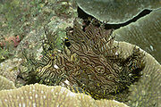 Lacey Scorpionfish.(Rhinopias aphanes).Papua New Guinea