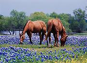Pair of horses in field of Texas bluebonnets near Ennis, Ellis County, Texas.