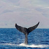 Humpback Whale, Megaptera novaeangliae, Tail Wave 2 of 8, Maui Hawaii