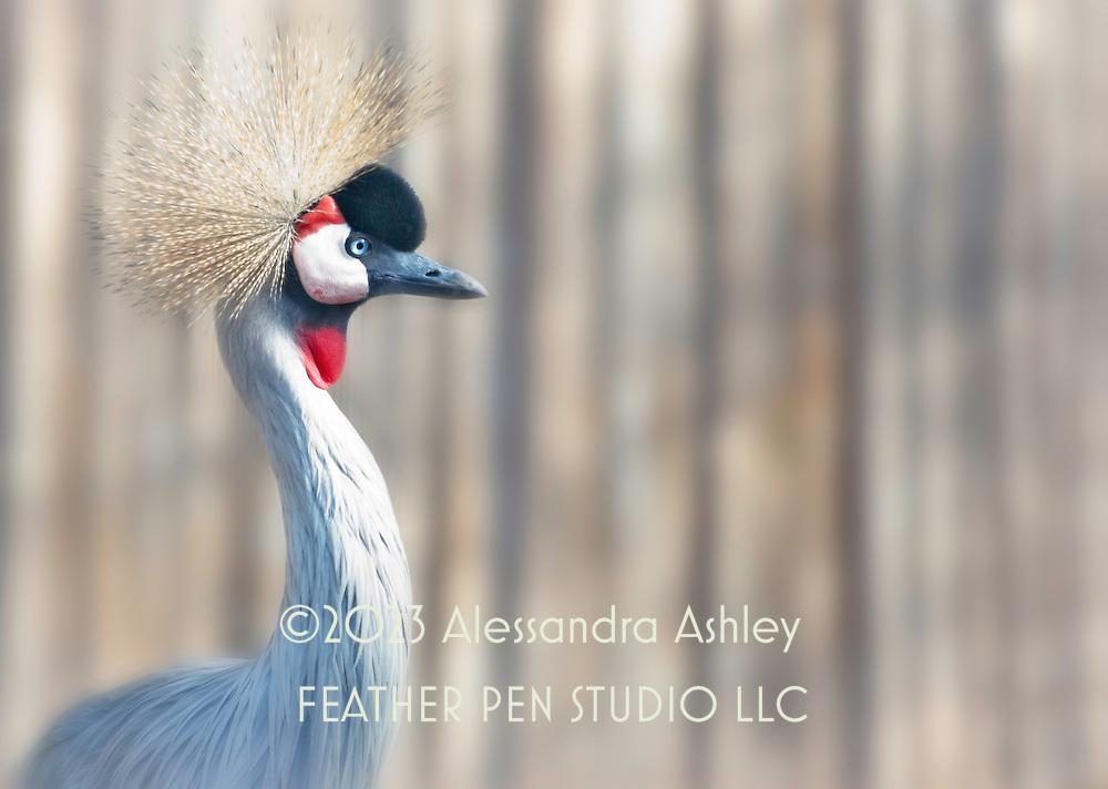 African crested crane in naturalistic habitat.