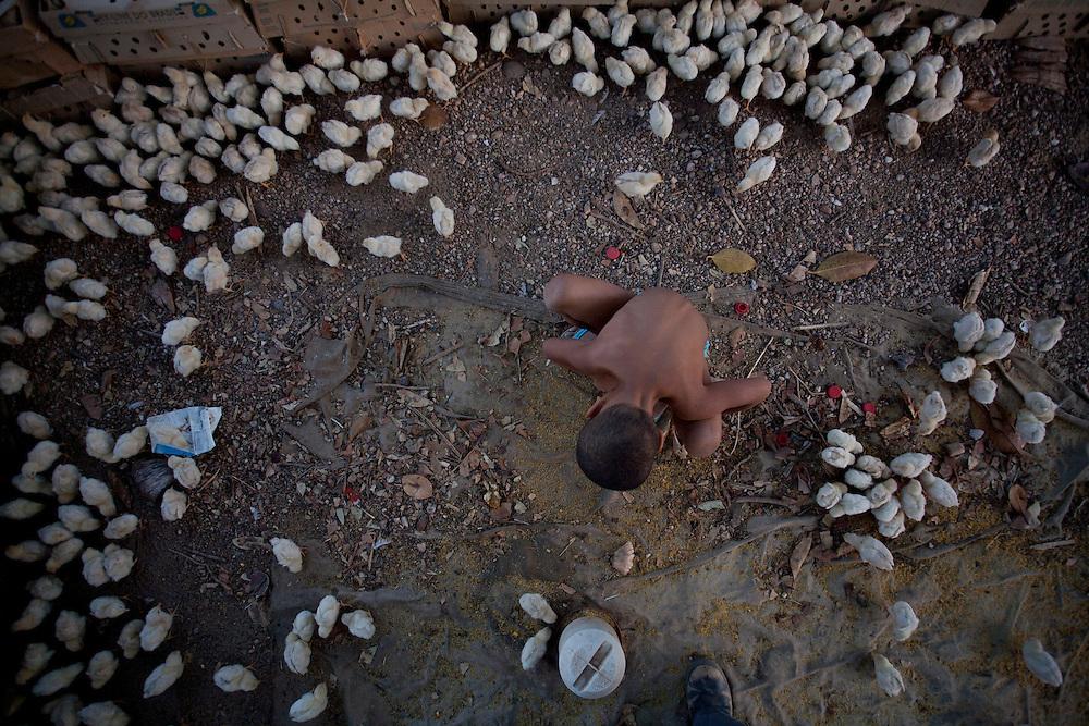 Porteirinha_MG, Brasil...Criacao de pintinhos em Porteirinha, Minas Gerais...Chick farming in Porteirinha, Minas Gerais...Foto: LEO DRUMOND / NITRO