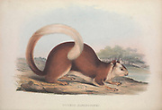 Sciurus elphinstonei or Sciurus elphinstone From the book Zoologia typica; or, Figures of new and rare animals and birds described in the proceedings, or exhibited in the collections of the Zoological Society of London. By Fraser, Louis. Zoological Society of London. Published by the author in London, March 1847