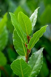 Laurus nobilis - Bay laurel, Sweet bay