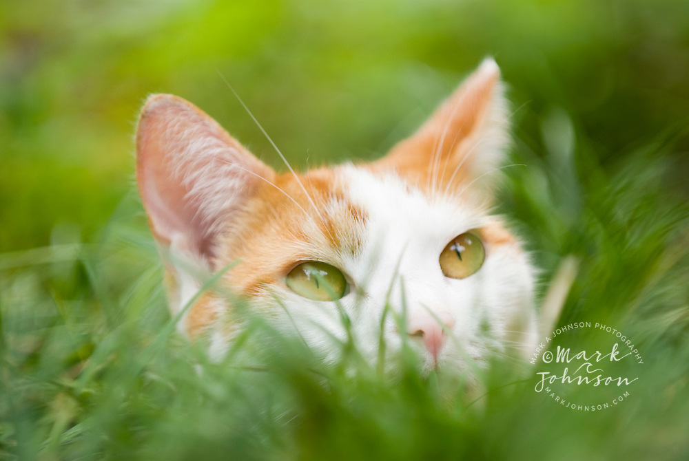 Cat hiding in grass *****Property Release available