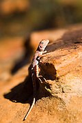 Ring-tailed Dragon lizard on a rock, Red Centre, Australia