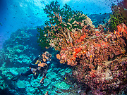 The Pacific elkhorn coral (Acropora rotumana) at Mulloway reef, Tufi, Papua New Guinea