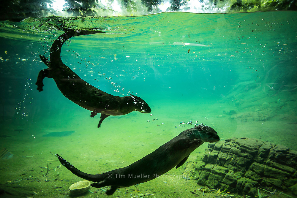 The Louisiana Habitat exhibit at the Alexandria Zoo includes the River otter.