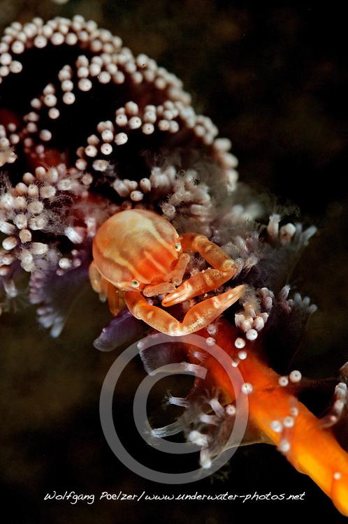 Galathea sp., Springkrabbe auf Seefeder, squat lobster on Sea pen, Tulamben, Bali, Indonesien, Indopazifik, Indonesia, Asien, Indo-Pacific Ocean, Asia