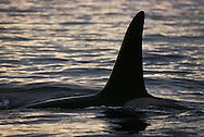Killer Whale or Orca, Orcinus orca, Lofoten, Norway, Arctic