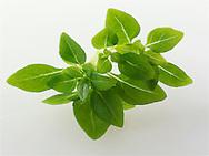Fresh Greek Basil leaves