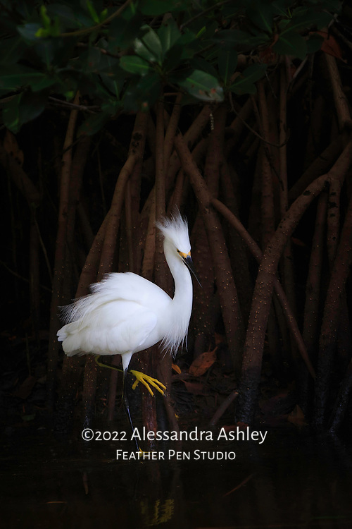 Snowy egret (Egretta thula) watches for fish in shallows of mangrove swamp, with flowing white feathers in contrast to deep shade of background.