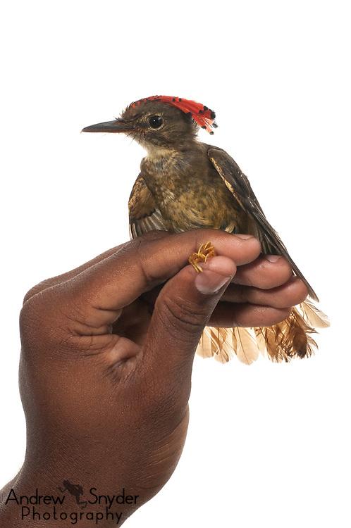 Amazonian Royal Flycatcher, Onychorhynchus coronatus, Iwokrama, Guyana, July 2013